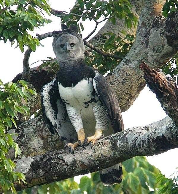 Photograph of Harpy Eagle                                                                                                                                                      More