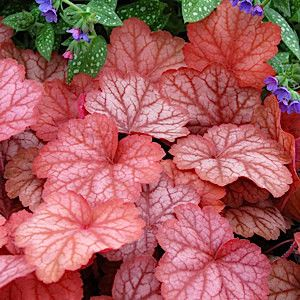 5 HEUCHERA 'Georgia Peach' - Common Name Coral Bells or Alumroot - 5 Live Perennial Plants