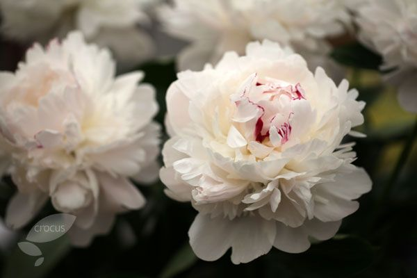 French Peony Paeonia lactiflora 'Festiva Maxima' :Exquisite, double flowers, that open with a pink blush, but quickly fade to creamy-white (while sometimes keeping a smattering of crimson flecks), appear from early to midsummer above the mid green leaves. One of the most popular old varieties, the enormous rose scented flowers are often more than 20cm across. Plant it close to a pathway or entrance, where the fabulous scent can be really appreciated.Flowering period: June to July