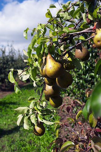 How to Grow Pear Trees From Seed   Garden Guides...Step 3    Use a trellis to support the pear tree until the branches are stronger. A trellis also is useful to train your tree into a V shape, which allows for optimum sunlight penetration and prevents fruit from rubbing against other fruit.    Read more: How to Grow Pear Trees From Seed   Garden Guides http://www.gardenguides.com/69419-grow-pear-trees-seed.html#ixzz2SBEfq54k