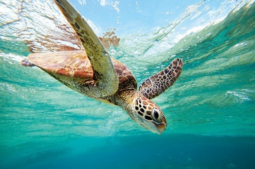 Take a swim school with the turtles #bundaberg #turtles