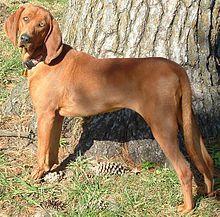 CachorrosBlogs.: Cão Caçador de Urso.