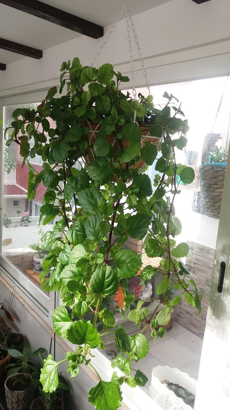 "Planta-dólar - ""Plectranthus nummularius"". Custo reduzido da cesta, planta criada a partir de outra."