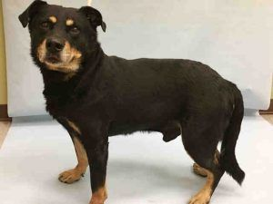 SUPER URGENT 11/29/16 Manhattan center SIRIUS – A1098173  MALE, BLACK / BROWN, ROTTWEILER / LABRADOR RETR, 8 yrs STRAY – STRAY WAIT, NO HOLD Reason STRAY Intake condition GERIATRIC Intake Date 11/28/2016, From NY 10456, DueOut Date 12/01/2016,