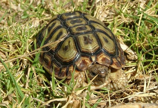 tortoise species found in western cape - Google Search