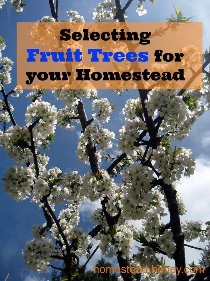 Grow an edible forest in your backyard and select the BEST fruit trees for your homestead with these tips.  | Homestead Honey