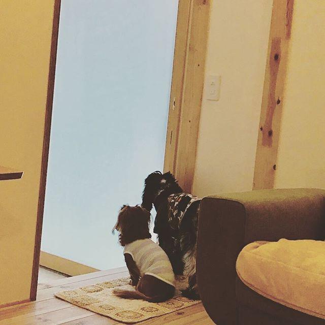 夕方のあたしが帰るくらいの 時間にはずーっと玄関で 待ってくれてます♡ 今日も早く帰るね♡ きゅーーーーん♡ #愛犬 #お出迎え #健気なわんこ #カニヘンダックス #ダックスフンド #イングリッシュ コッカー スパニエル