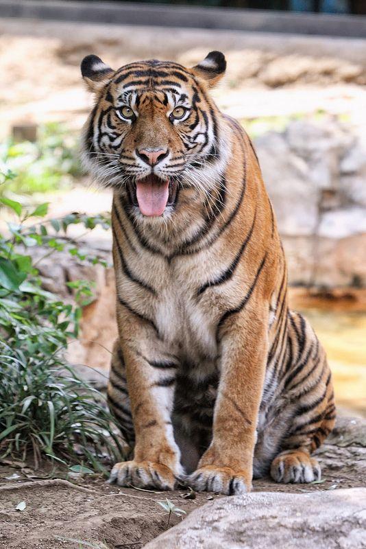 Indah ♀ - Summer in the Enclosure   by Harimau Kayu (AKA Sumatra-Tiger)