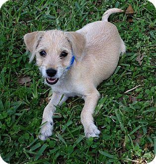 chihuahua schnauzer mix | Schnauzer (Miniature)/Chihuahua Mix Puppy for adoption in Loxahatchee ...