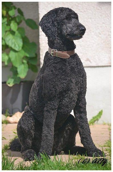 Der Königspudel - Überlegungen vor dem Kauf - DogForum.de das große Hundeforum