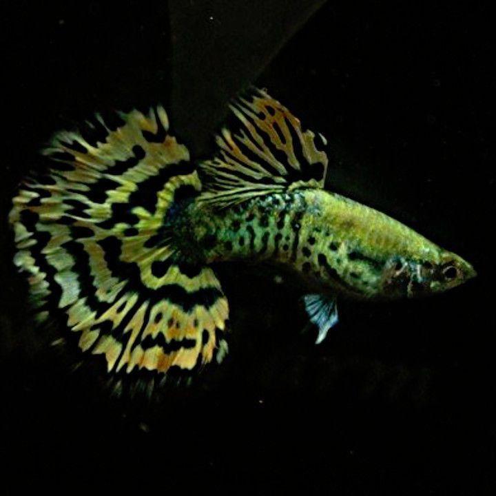 Beautiful Yellow Tiger Guppy Pair Usa Fish Tropical Fish Guppy
