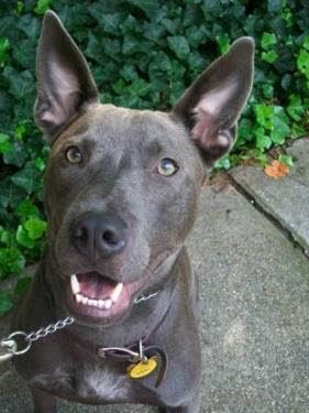 Thai ridgeback photo | Thai Ridgeback - Pitbulls : Go Pitbull Dog Forums
