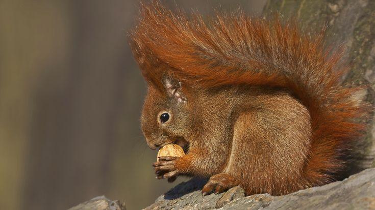 Eichhörnchen sind ganz schön talentiert: Die Nager sind ausgezeichnete Kletterer und geschickte Nahrungssucher. Mit seinen kräftigen Fingern und Zehen kann es sich hervorragend an Baumrinden festkrallen. Im Winter halten die Tiere Winterruhe: Sie sind zwar wach, aber gehen sehr wenig auf Nahrungssuche. Aus diesem Grund fressen sich die Nagetiere ein Fettpolster an und verstecken an verschiedenen Orten Nüsse, die sie dann im Winter schnell wieder finden können.