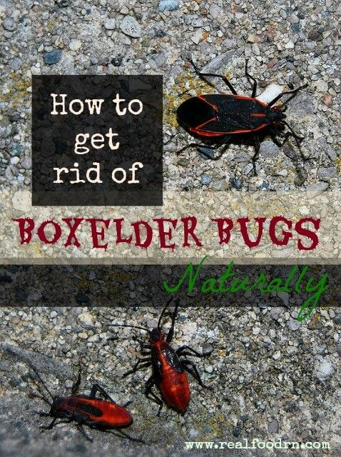 Got Boxelder bugs? We do! Gross!!! They cover the south side of our house every spring and hang out well into the fall! Want to get rid of them naturally?