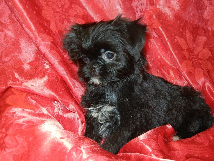 "Japanese Chin/Yorkshire Terrier ""Jarkie"" puppy, female"