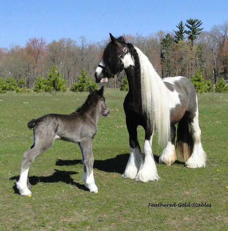 ...Gypsy Vanner Horses - so beautiful!