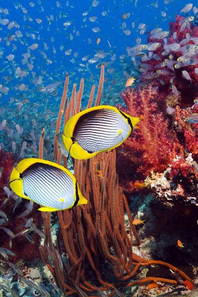 Striped reef fish