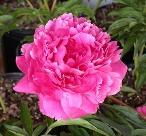 Kansas Peony Rose Rose Rose Pinterest Gardens