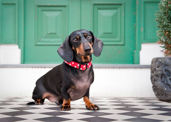 Dachshund dog breed ; i never knew there was a third size for Doxies: this is a Kaninchen Dachshund that is available in Europe. It is the size of a large rabbit and weighs 8-10 pounds.