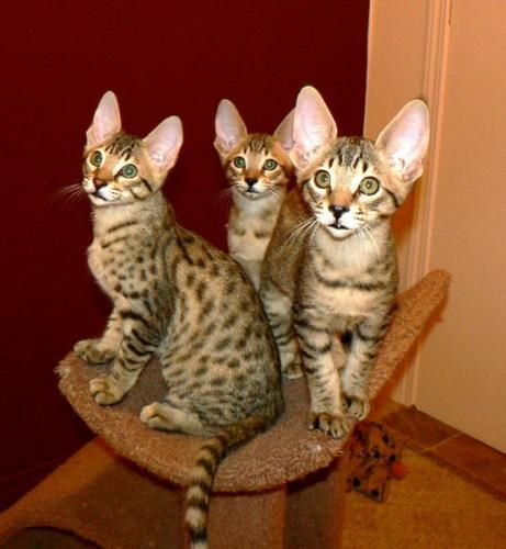 savannah cats for sale | Savannah Kittens for sale in Olds, Alberta Classifieds ...