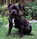 Staffordshire Bull Terrier Training: Learn All About Training Staffordshire Bull Terriers & Taking Care of Them