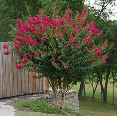 Dwarf crepe myrtle tree for the front flower bed