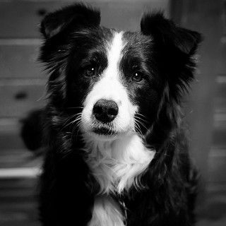 The Gaze of a Border Collie | She's alert, she's smooth, she… | Flickr