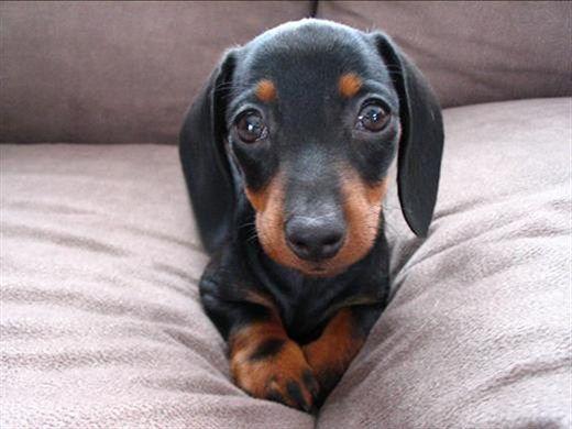 Baby Wiener Dog!!