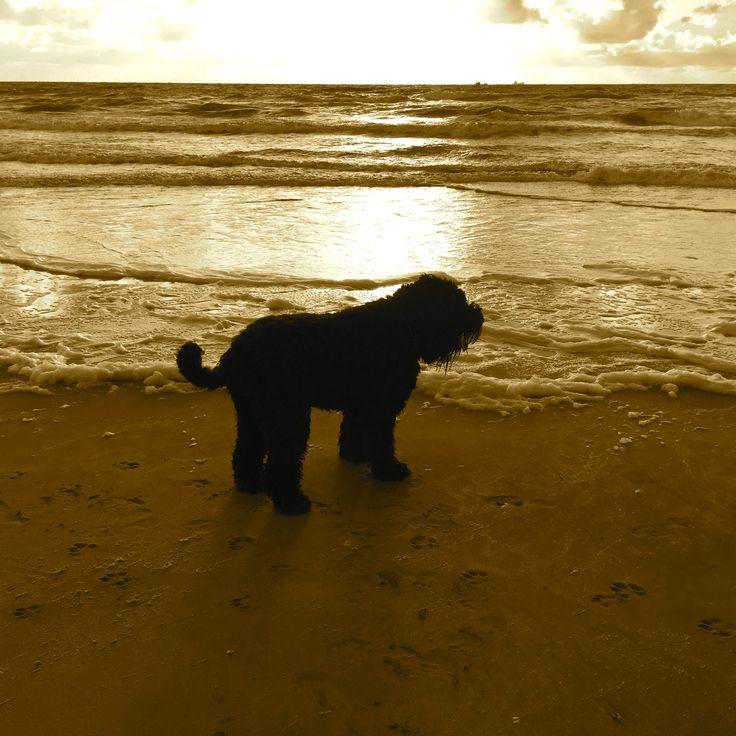Nika 2014 my black russian terrier