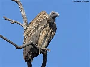 vulture - - Yahoo Image Search Results