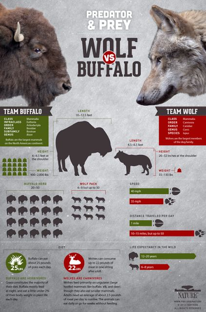 Free Technology for Teachers: Infographic and Video from Nature - Wolf vs. Buffalo