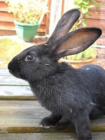 Large Rabbit Breeds | Continental Giants rabbit | Continental Giants rabbit breed ...