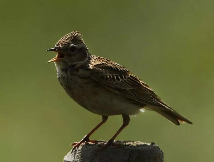 Skylark  The bird's song is composed of 300 syllables and marks a breeding pair's territory. Neighbouring pairs use similar sequences to promote harmony  Getty