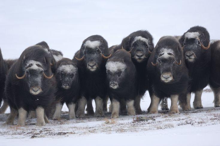 Vincent Munier est un photographe animalier français tout particulièrement attiré par les environnements hivernaux. Du cercle polaire à la Norvège, le photographe parcourt en solitaire les espaces abandonnés des hommes pourêtre seul avec les animaux.Ce photographe passionné préfère en effet leurs compagnies et s'efforce d'être le plus possible en immersion ...