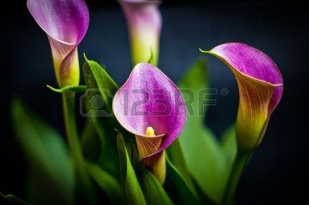 каллы фиолетовые - Поиск в Google