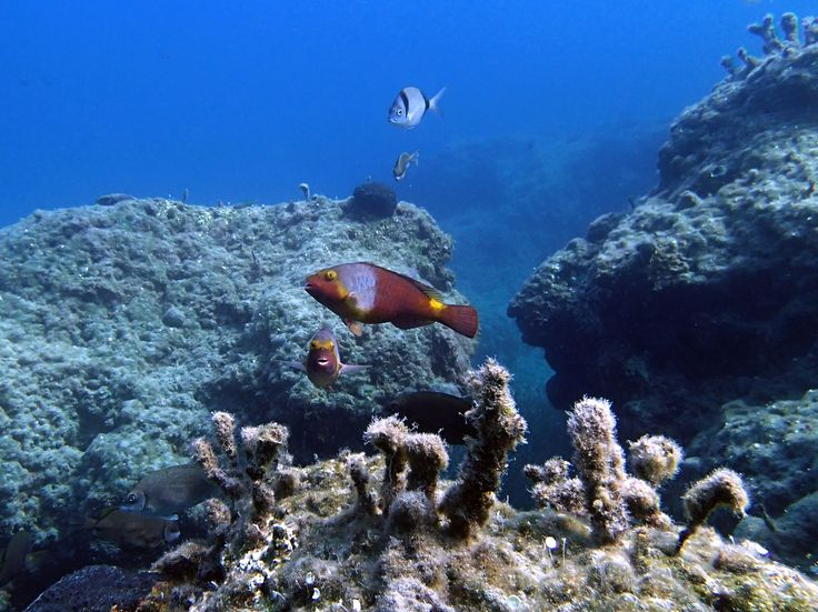 Parrot fish, Papafragas, Milos