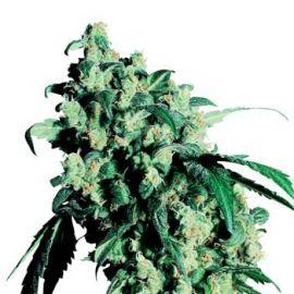 Super Skunk regular - strain - Sensi Seeds | Cannapedia