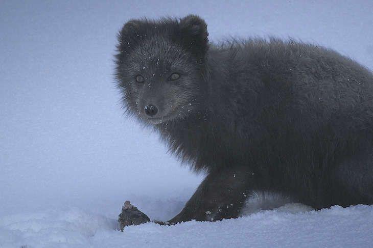 The Arctic Fox Documentary: Available on Icelandair