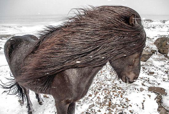 Icelandic horse. by RonniHauks