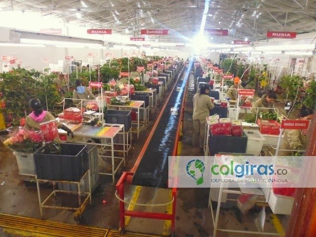 Cultivos de flores, Área de Postcosecha y Distribución, Sabana de Bogotá