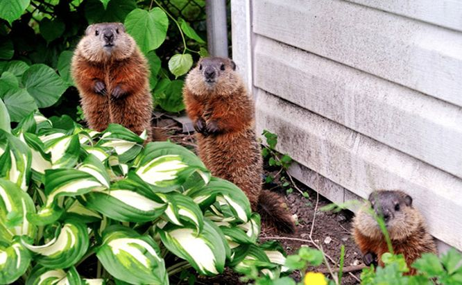 When Critters Are Digging In Your Garden They Make It Very Obvious However If You Can T Catch A Backyard Birds Feeders Vegetable Garden Groundhog Repellant