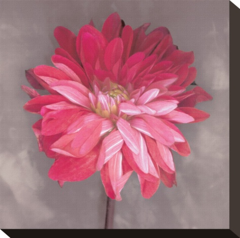 Pink Zinnia by Erin Clark. Stretched canvas print from Art.com.