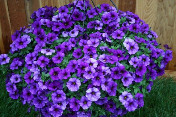 TRAILING PETUNIA PENDULA HYBRIDA Buying a package of 1000 seeds or 5000 seeds. You have to choose the color you want. Mix, red, blue or white.  Description: Petunia is originated from South American. This popular flower of the same name derived its epithetfrom the French,which took the word petun, meaning tobacco from a Tupi–Guarani language. Also known as P. Hybrida,an annual popular garden flower. Petunias can be cultivated in hanging baskets,tolerates relatively harsh conditions and hot…