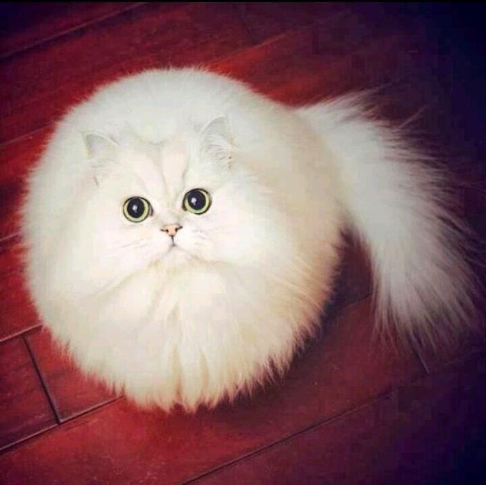 What you will be seeing are not edited photos, but are perfectly real round animals. These fluffy ball of cuteness were born this way. 1. Perfect Snowball  2. Round White Cat  3. Sea Pulp  4. Round Owl  5. Armadilo  6. Bird  7. Honduran White Bat  8. Round Pommeranian  9.   #cute animals #cuteness animals #round animals