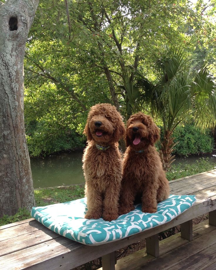 Red goldendoodle sisters