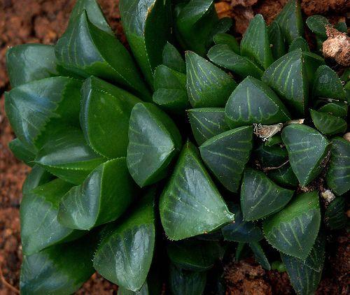 22 Best Images About Succulents On Pinterest Gardens