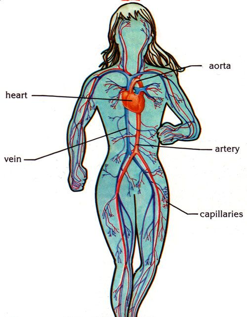 Circulatory System Multisensory Learning Pinterest Circulatory