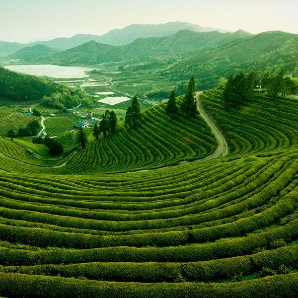 16 EXPERIENCES THAT WILL MELT STRESS  BOSEONG GREEN TEA PLANTATION, JEOLLANAM-DO, SOUTH KOREA