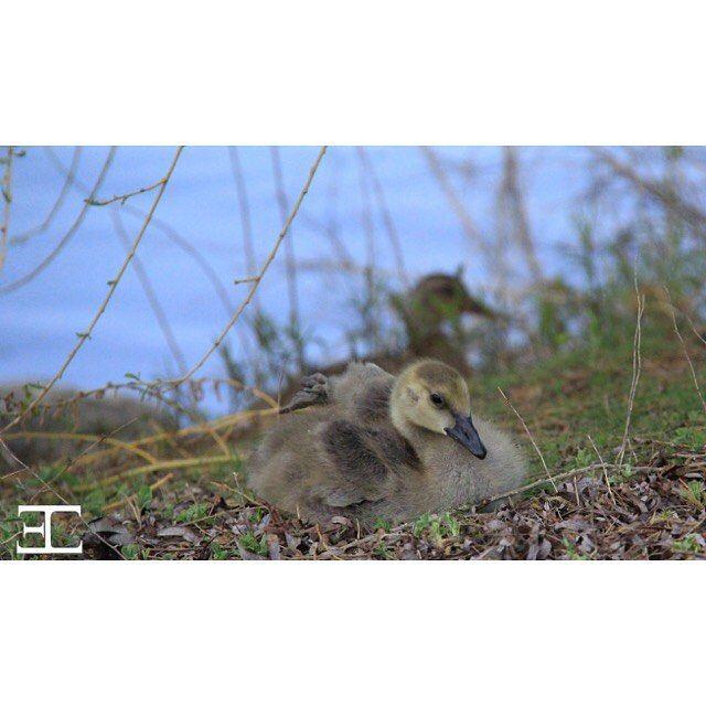 #babygeese #geese #babygeeseofinstagram #wildlife #naturephotography #brampton…