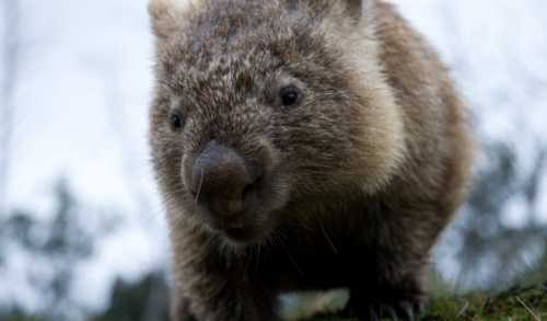 Wombat...what a face!